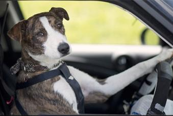 Woof! Woof! Old Dogs Get Behind The Wheel To Learn New Tricks